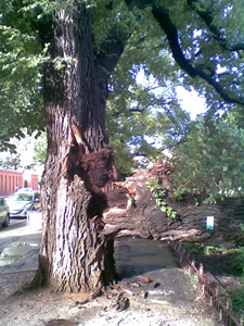 Street tree damage