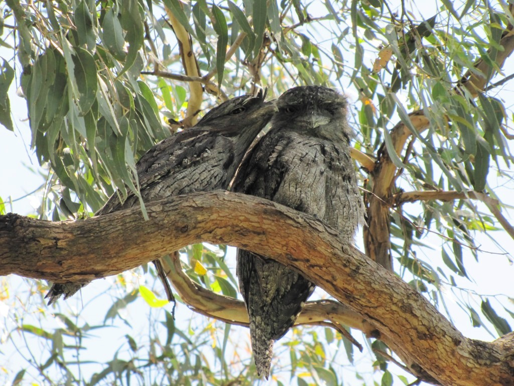 Tawny Frogmouth on Boundary Rd