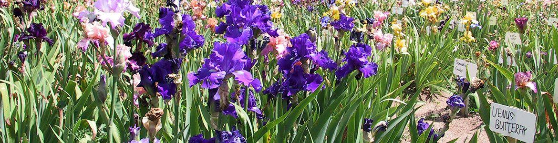 iris-nursery